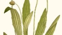 Rostlina jitrocele kopinatého