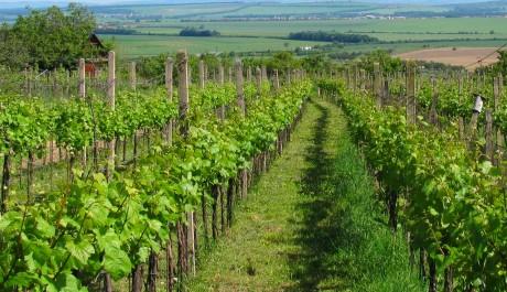 FOTO: Moravská vinice