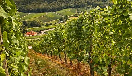 FOTO: Portugalská vinice