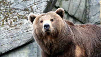 FOTO:Medvěd kodiak