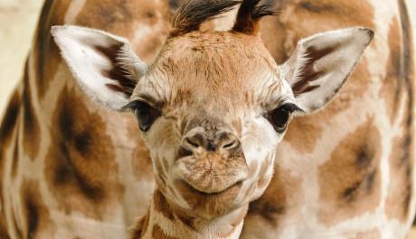 FOTO: Mládě žirafy Rothschildovy