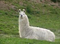 FOTO: Lama