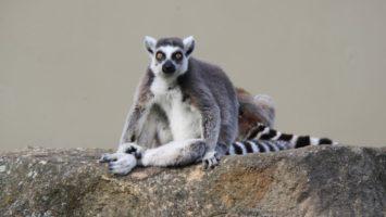 FOTO: lemur kata