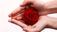 Červená růže v dlaních