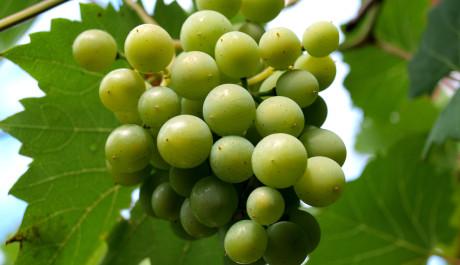 FOTO: Hrozen bílého vína - detail