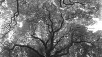 OBR: Josef Sudek - Koruny stromů