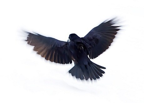 OBR.: raven