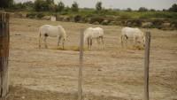 FOTO: Divocí koně v Camarque
