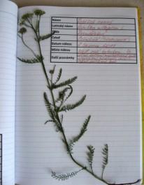 FOTO: Část herbáře - řebříček