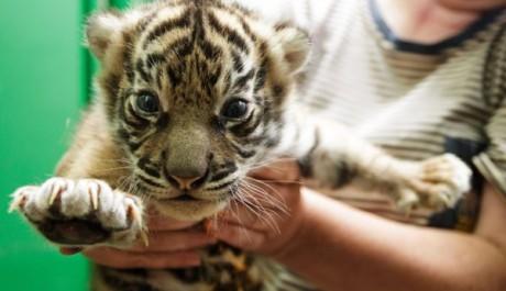 FOTO: Mláďata tygra sumaterského