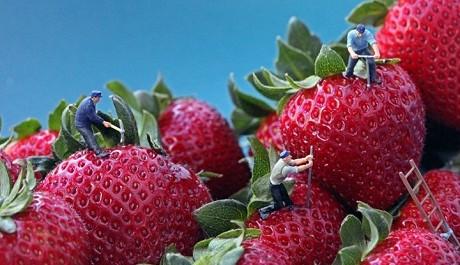 FOTO: Pracovníci na jahodách, Christopher Boffoli