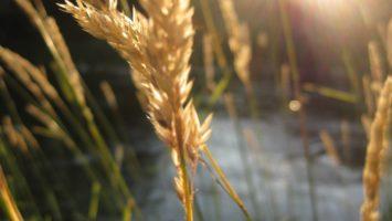 FOTO: Lán pšenice