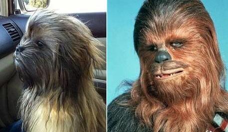 Pes co vypadá jako Chewbacca