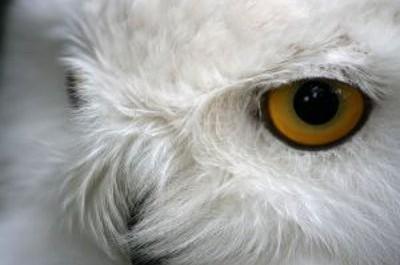 FOTO: Sněžná sova