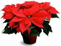 Vánoční hvězda pochází právě z Mexika.
