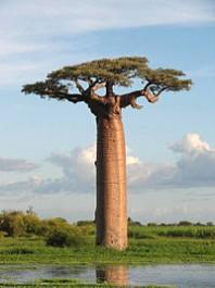 FOTO: Baobab