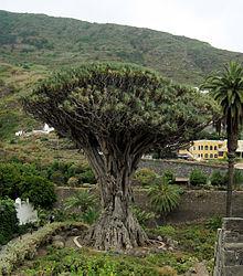 Foto: Dračí strom