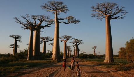 Foto: Avenue du baobabs