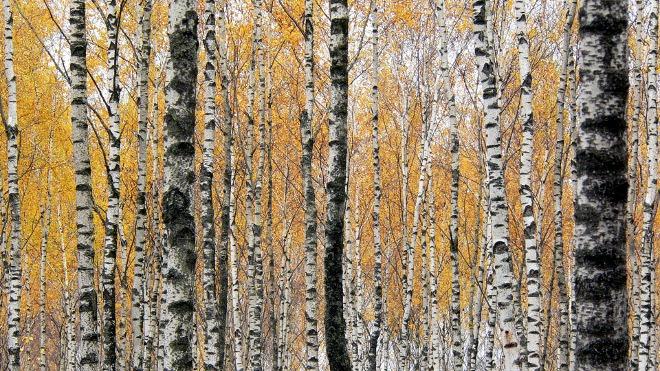 FOTO: Bílé břízy na podzim
