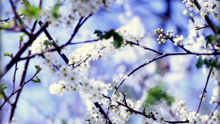 FOTO: kvetoucí strom