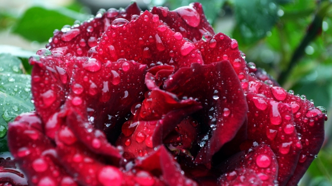 FOTO: růže