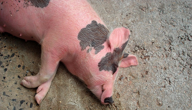 Na farmě pana Jonese moci ujala prasata, Zdroj: sxc.hu