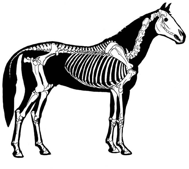 Jak nakreslit koně - kostra a anatomie