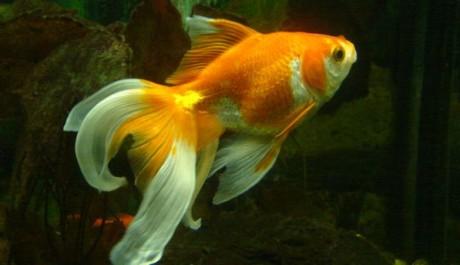 FOTO: Zlatá rybka