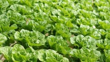salatove-pole-kapusta