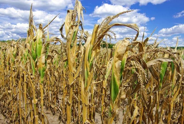sucho-kukuričné pole