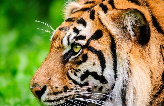 tygr_sumatersky_zoo