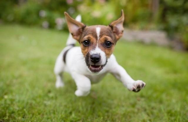 vyskyt psinky stene pes