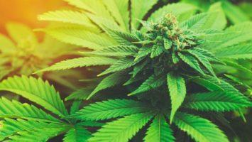 lecebne-konopi-je-financne-nedostupne-marihuana-640